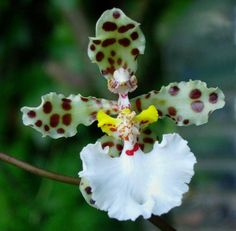 Spotted Brown with White and yellow orchid