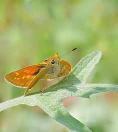 Butterflies of the UK. an insight into their lives: Large Skipper female, here's look....