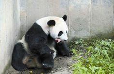 中国・四川、パンダのスーリンが2頭の赤ちゃんパンダを出産
