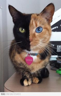 Meet Venus, the Chimera cat. A fascinating condition in which twin eggs fuse together early in life to form a being with two seperate DNA identities in one body.