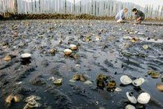 白川河口にある小島漁協のハマグリの「保護区」。殻が開いたハマグリがあちこちに見られる=熊本市西区 ▼2Oct2014熊本日日新聞|ハマグリ大量死に漁協関係者落胆 熊本市 http://kumanichi.com/news/local/main/20141001006.xhtml