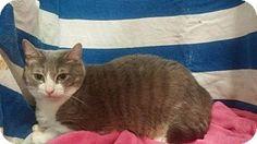 Baton Rouge, LA - Domestic Shorthair. Meet Laffy Taffy, a cat for adoption. http://www.adoptapet.com/pet/15848016-baton-rouge-louisiana-cat