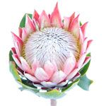 Protea King flower is an incredibly unique tropical flower that looks straight out of a storybook. This novelty flower is the largest in the protea family and f