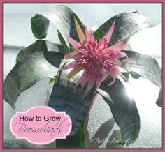How to Grow Bromeliads - tropical plants with a flower that just won't quit!