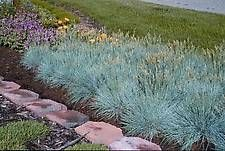 grass FESTUCA g.'Elijah Blue'  Similar to F. 'Boulder Blue', but is slightly taller, with a looser habit, and less upright flower stalks. Full sun and well drained soil, afternoon shade is preferred in the warmest climates.  Plant this Festuca in dry conditions.  Clip back in late fall or early spring.