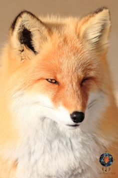 Beautiful Dogs, Animals Beautiful, Cute Animals, Fox Totem, Fennec Fox, Silver Foxes, Pet Fox, Free Advice, Fox Pattern