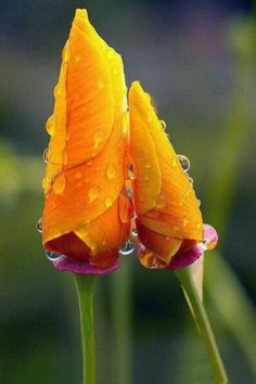 Beautiful Flower Buds