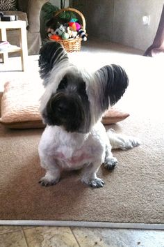 My Skye Terrier Murry with his summer haircut!!