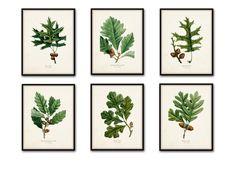 OAK LEAF BOTANICAL PRINT SET NO. 3 - 6 GICLEE CANVAS PRINTSThis print set features 6 antique Oak Leaf illustrations...