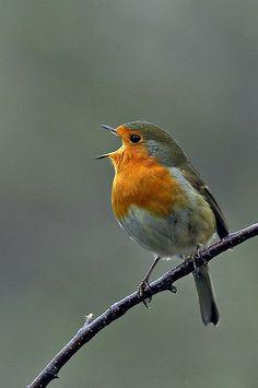 Happy little robin