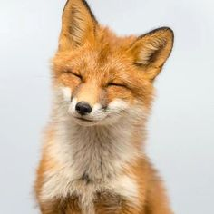 Smiling Fox Stock Photos, Royalty-Free Images & Vectors - Shutterstock