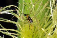 Los adultos se alimentan de las sedas de las flores femeninas dificultando que sean fecundadas Preserves, Bugs, Insects, Let It Be, Flowers, Preserve, Beetles, Preserving Food, Butter