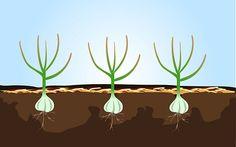 El ajo se utiliza para hacer una variedad de platos más suculentos, tiene beneficios para la salud maravillosos y se puede secar para durar durante un largo tiempo. Cultivar el ajo es fácil y barato, y una en una estación de crecimiento produce mucho ajo que tendrás mucho que compartir con tus amigos. Cómo plantar …