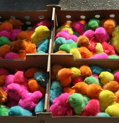 dyed chicks in Meknes, Morocco