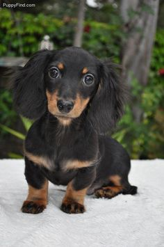 black and tan long haired dachshund | Black and tan long hair doxie pup #Dachshund
