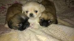 Dogs & puppies For Sale in Portland (OR)  eBay Classifieds (Kijiji ...