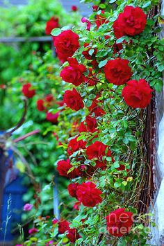 Red roses- these are Prince William roses by Harkness and not only smell amazing but don't need to face south to grow well