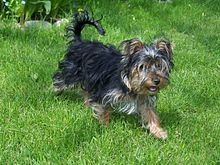 Yorkshire Terrier - Wikipedia