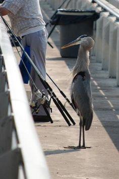 "Fishing the Banana River on Mather's Bridge, Merritt Island, FL USA ""The Old Man"" a grey heron waiting for a treat..."