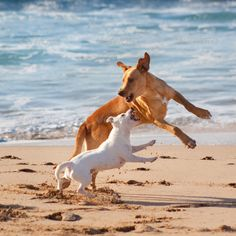 Dogs playing at the beach ...  animal, background, bay, beach, beautiful, beauty, brown, calm, clouds, coast, color, concept, cute, day, dog, eye, face, friend, fun, funny, fur, gold, golden, guard, happy, head, holiday, landscape, nature, ocean, peaceful, pet, play, playful, portrait, puppy, relax, run, sand, scenery, sea, shore, summer, tranquil, travel, two, vacation, water, waves, white