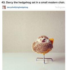 Darcy the hedgehog.