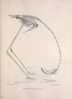 Flamingo Skeleton from 'Osteologia avium, or, A sketch of the osteology of birds' , Published by R. Hobson, Shropshire , 1858-1875