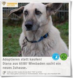 Diana ist seit 8 Jahren im Tierheim Wiesbaden.  http://www.tierheimhelden.de/hund/tierheim-wiesbaden/schaeferhund_mix/diana/5435-0/  Diana ist z.T. unsicher in neuen Situationen, kann sie aber viel besser meistern wenn sie eine sichere Bezugsperson hat. Sie braucht Sicherheit. Diana hat eine gute Grunderziehung und mag Spaziergänge. Sie sollte in einem kinderlosen, ruhigen Haushalt leben.