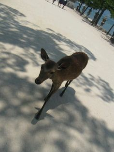 The deer are everywhere, and will come up to you, and eat from your hand if you have snacks. Miyajima, Hiroshima, Japan