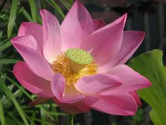 #flora #flower #lily #lotus #pink #pink flower #water #water lily