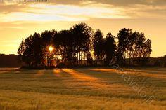 Ilta-aurinko - auringonlasku aurinko heinäkuu iltahetki keskikesä kesä lehtimetsä lehtipuu lehtipuut maalaismaisema maisema ohra pelto puut vilja