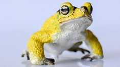 Yellow toad :Costa Rica