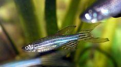 Investigación genética del pez cebra ayuda a entender enfermedades humanas