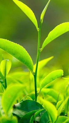 quenalbertini: Nature Fresh Vitality Tea Leaf Bud Close Up iPhone 6 Wallpaper Green Leaves, Plant Leaves, Maple Leaves, Green Tea Plant, Green Leaf Wallpaper, Iphone 6 Plus Wallpaper, Desktop Wallpapers, Green Tea Benefits, Fertilizer For Plants