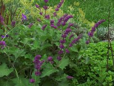 Whorled Clary, Lilac Sage 'Purple Rain'  Salvia verticillata--Hardy in Zone 5b??
