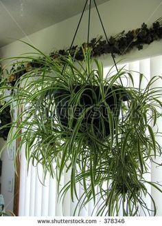Spider plants do well in low-light and high moisture  Hanging Spider Plant by Judy Drietz, via ShutterStock