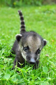 El bebé coatí de cola anillada que solo quiere jugar. | Las 40 fotografías de los animales bebés más adorables de 2013