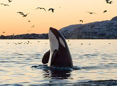Orcas, also known as killer whales, use echolocation to communicate with other members of their pod. Learn more orca facts at Animal Fact Guide!