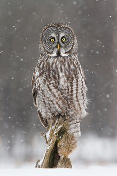 Looking alot like a high-art sculpture, a Great Gray Owl poses alertly while the snow falls gently around it.