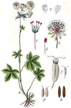 Size in pixels: Botanical Drawings, Botanical Prints, Botanical Flowers, Botanical Gardens, The Paradise Bbc, Astrantia Major, Flora, Plant Painting, Nature Drawing