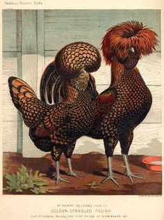 Pair of Golden Spangled Polish Chickens Fancy Chickens, Chickens And Roosters, Chickens Backyard, Pretty Birds, Beautiful Birds, Animals Beautiful, Chicken Painting, Chicken Art, Farm Animals