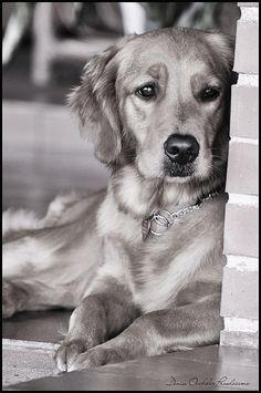 A Golden retriever named Luna. She is so beautiful!!