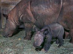 Baby Sumatran rhino.