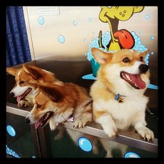 Patchie, Jazz, and Kodi - Corgis of the Day - Friday, September 13th http://CorgiClub.org