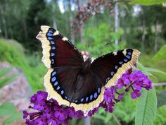 Suruvaippa Forest Plants, Butterfly Pictures, Life List, Forest Animals, Beautiful Butterflies, Finland, Snow White, Scenery, Wildlife