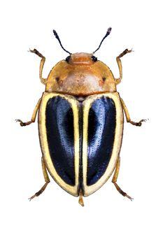 Iphiclus (Harodactylus) egensis