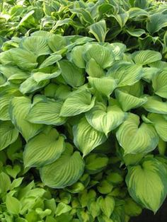 The Hosta Guacamole is one of those rare and hard to find fragrant hostas. Most Hostas have little to no scent but this one has a very strong fragrance and very large white flowers