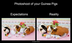 Photoshoot of your guinea pigs. So true!