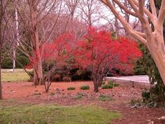 A Winter Red Winterberry Tree. We are thinking of putting this type of tree in our front yard. Red berries to attract the birds.