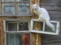 More Cat Care Information:We know how curious cats can be, and sometimes this might get them into trouble. Funny Cats And Dogs, Cats And Kittens, Animals And Pets, Cute Animals, Turkish Angora Cat, Cat Window, Curious Cat, All About Cats, White Cats