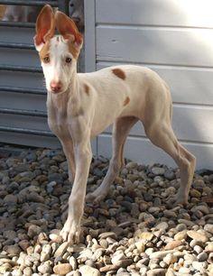 Ibizan Hound puppy